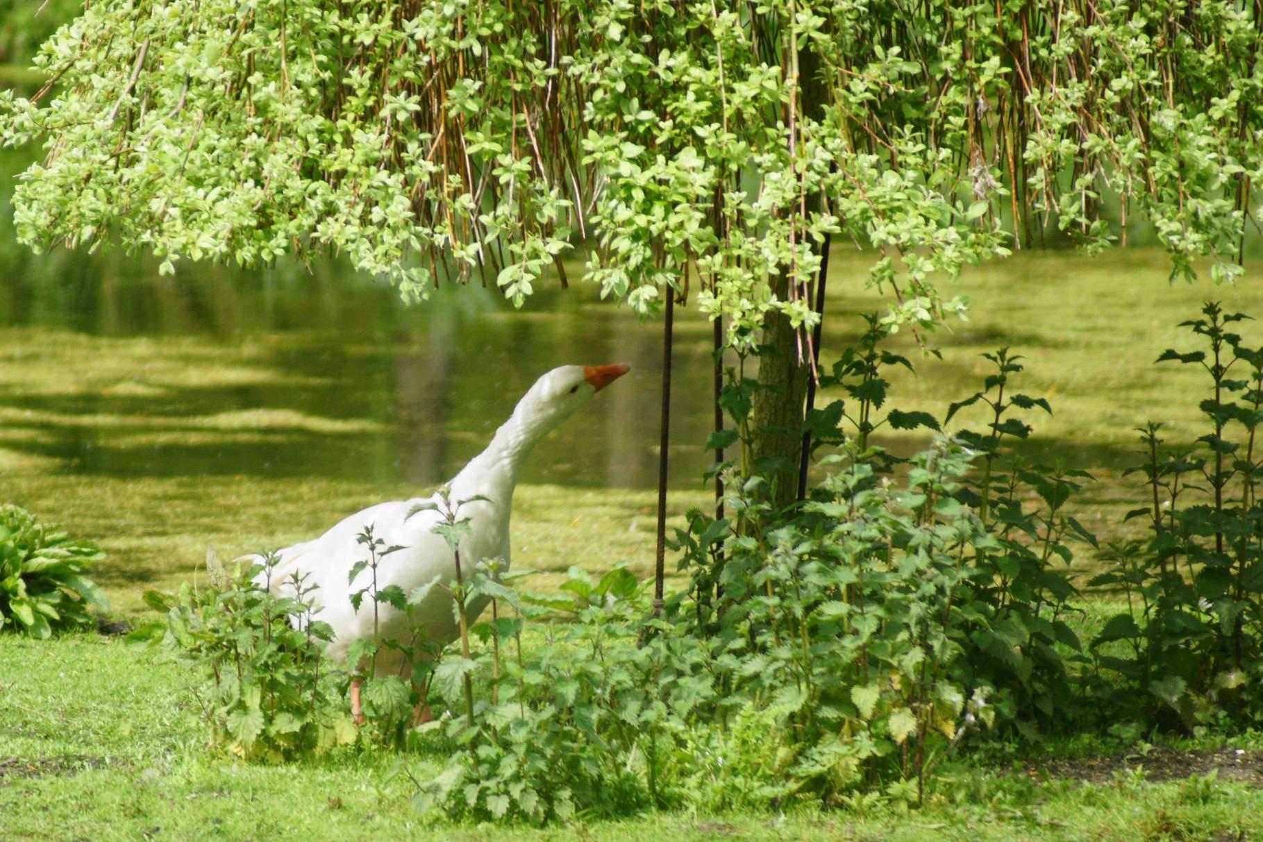 Oie blanche de Sougéal