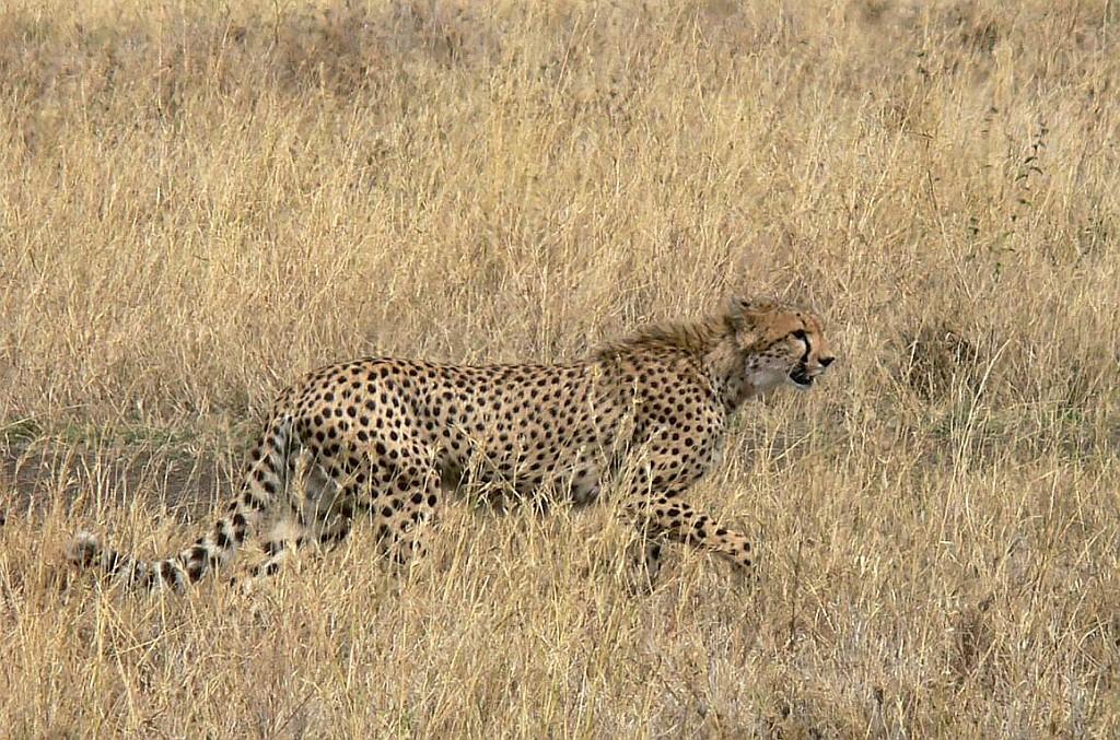 der Gepard sucht sich ein Opfer