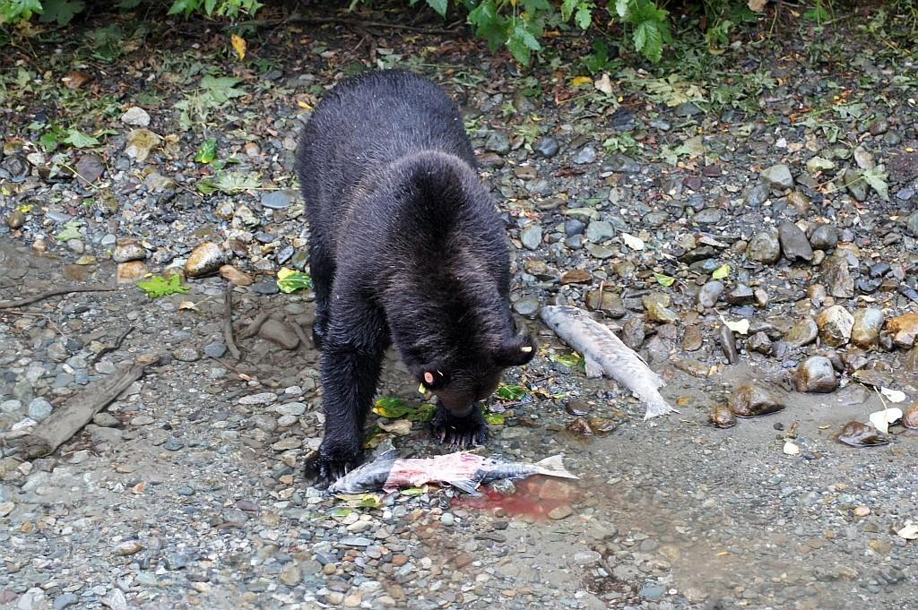 und hier auch schon ein Grizzly, der sein Abendbrot verspeist