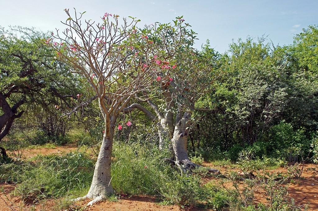 blühende Baobab-Bäume