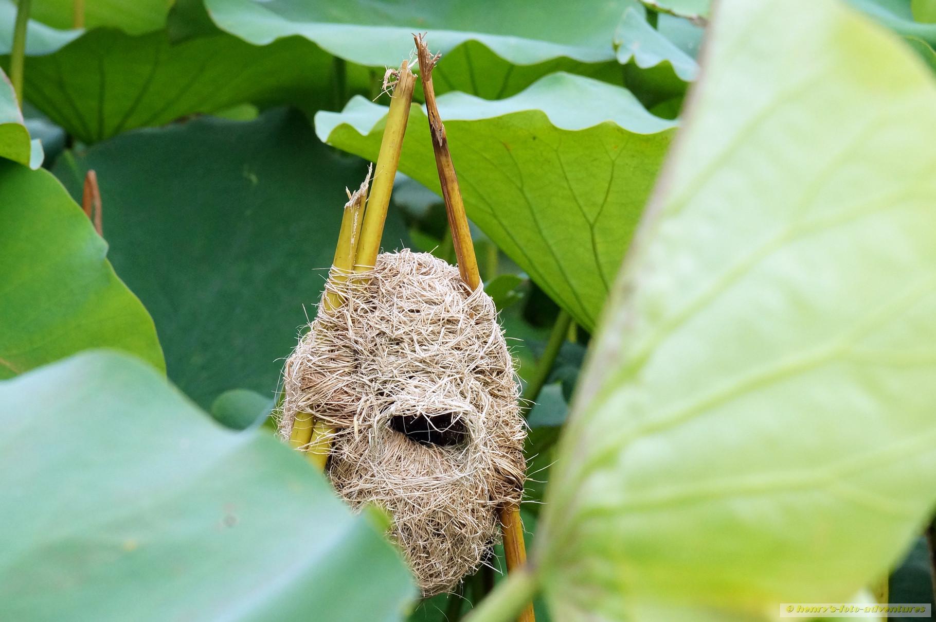 er baur zwischen den Lotosblüten sein Nest