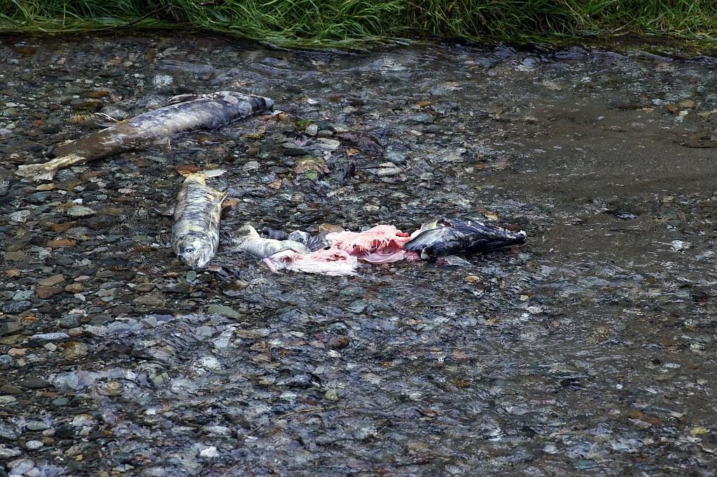 tote Lachse, die meisten sterben nach dem Ablaichen an Erschöpfung