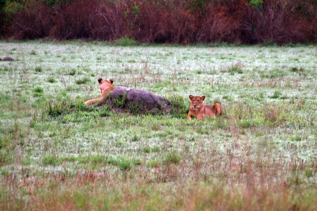 ob die Löwen ihnen etwas übrig lassen?