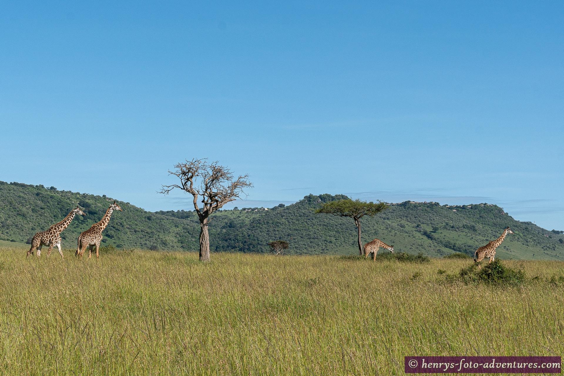 heute sind hier viele Giraffen unterwegs
