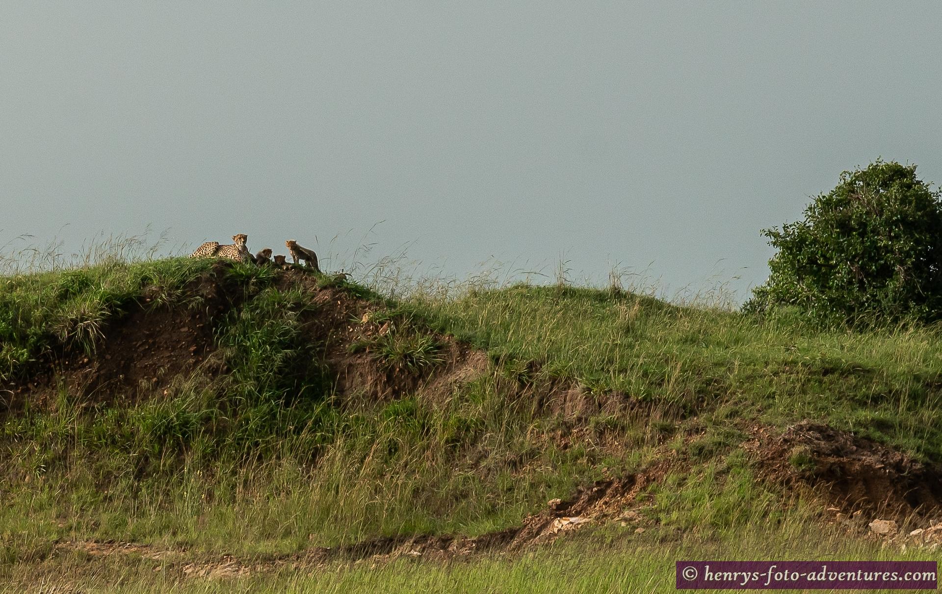 eine Geparden-Familie