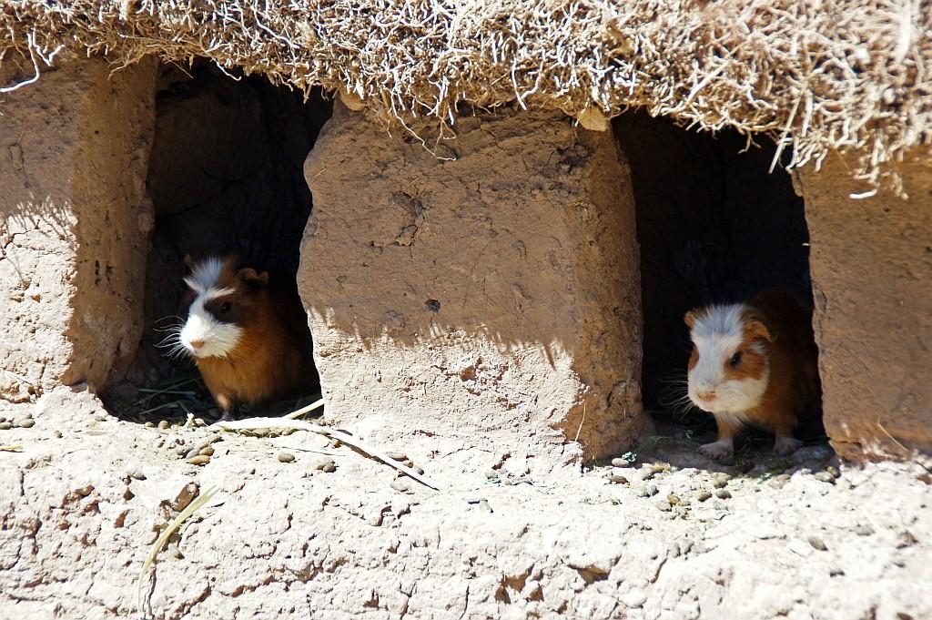 Meerschweinchen, die Hauskaninchen in Peru