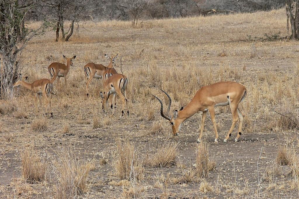 Impala Antilopen, hier Mc Donalds genannt