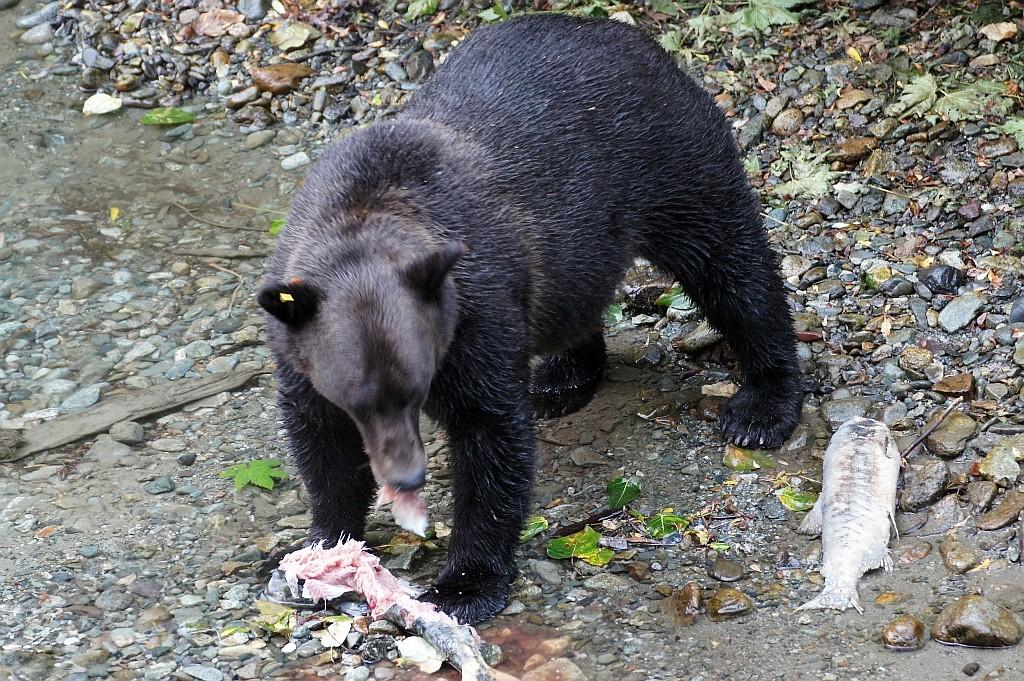 dieses Grizzly-Weibchen kommt angeblich jeden Abend hierher