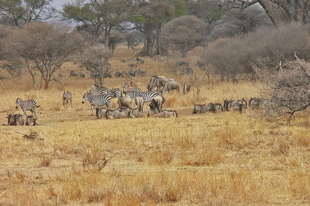 Gnu- und Zebraherde