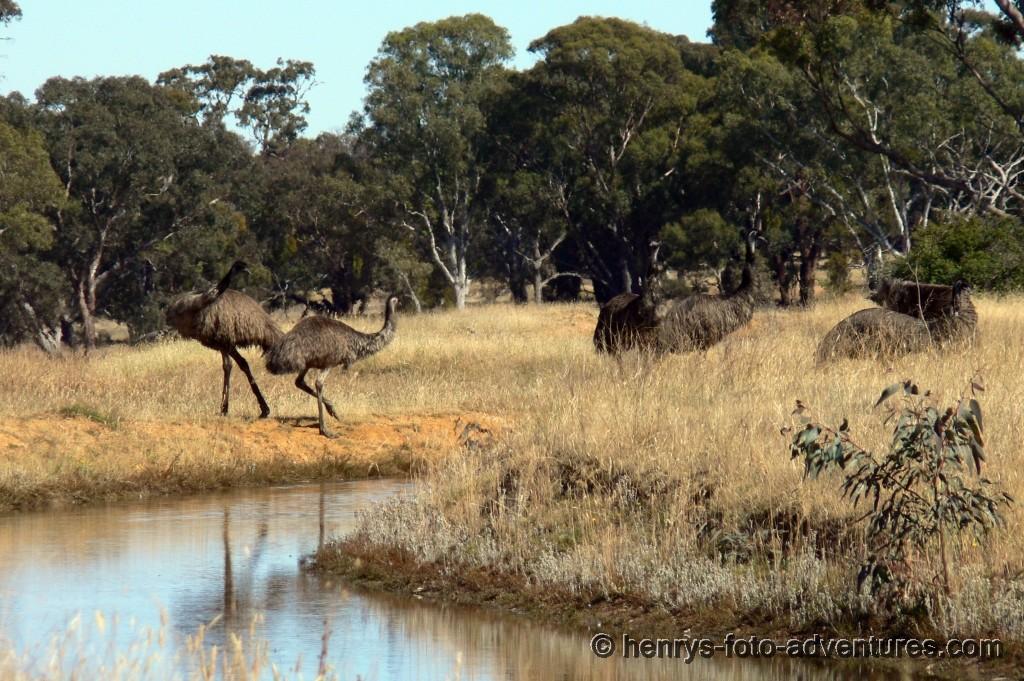 EMUs, der australische Vogel-Strauss