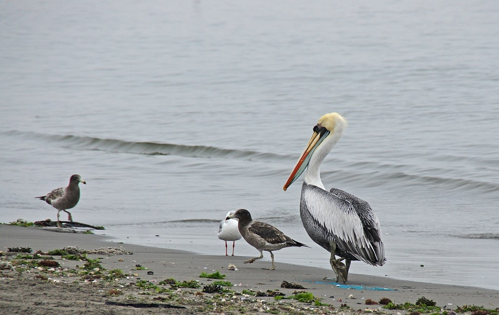 Pelikane am Strand