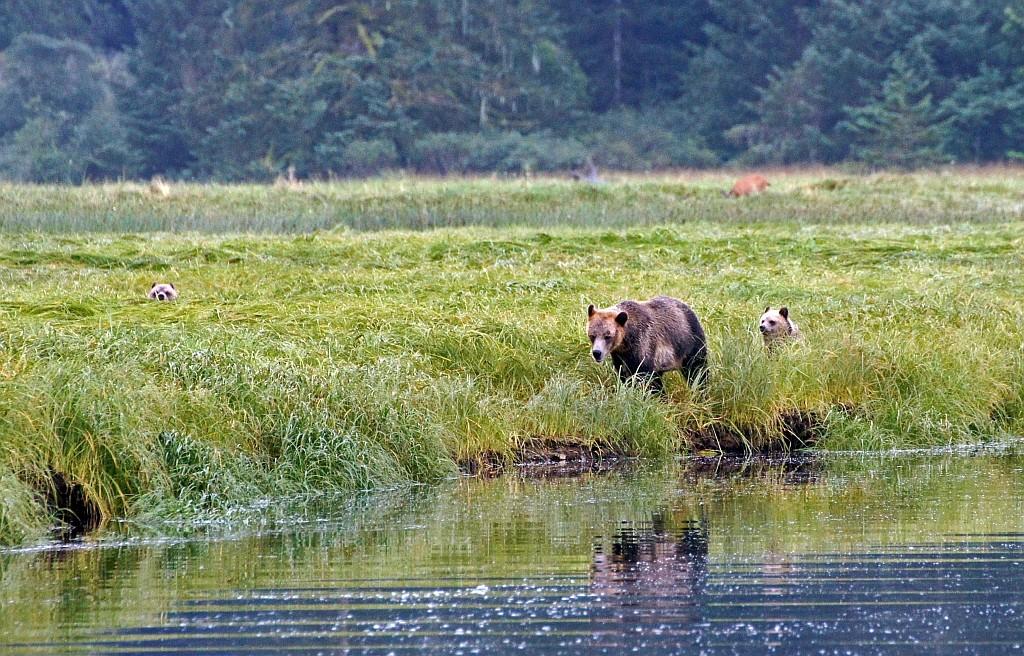 ein Grizzly Weibchen mit ihren etwa enjährigen Jungen