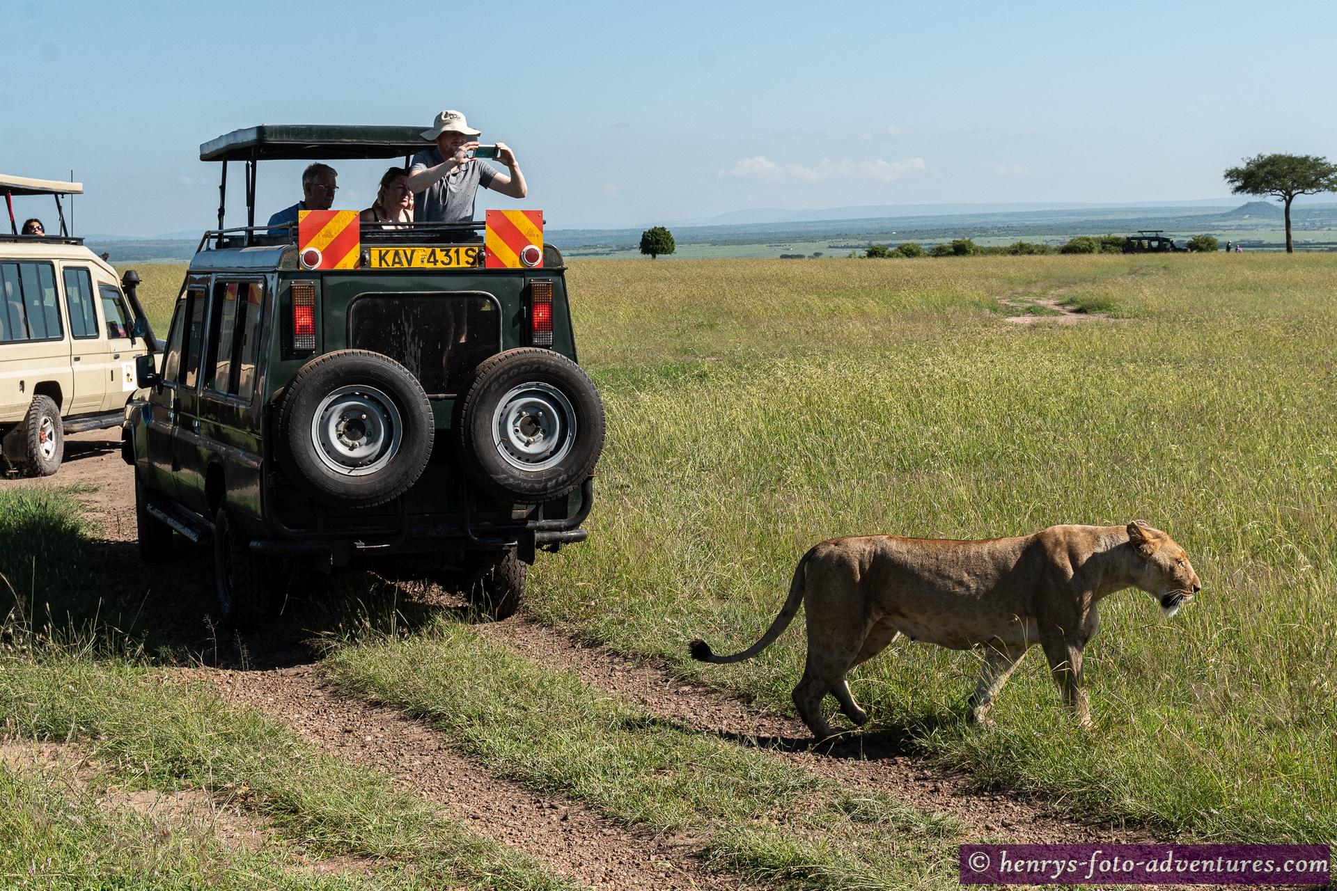 diese Löwendame lässt sich durch die Autos nicht stören
