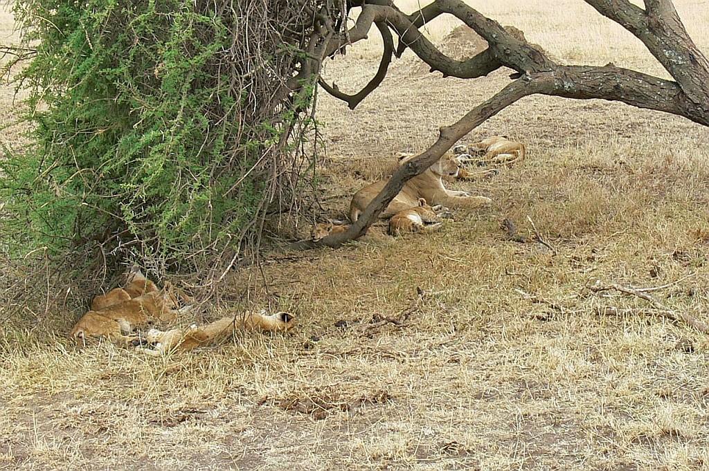 Löwenrudel beim Mittagsschlaf