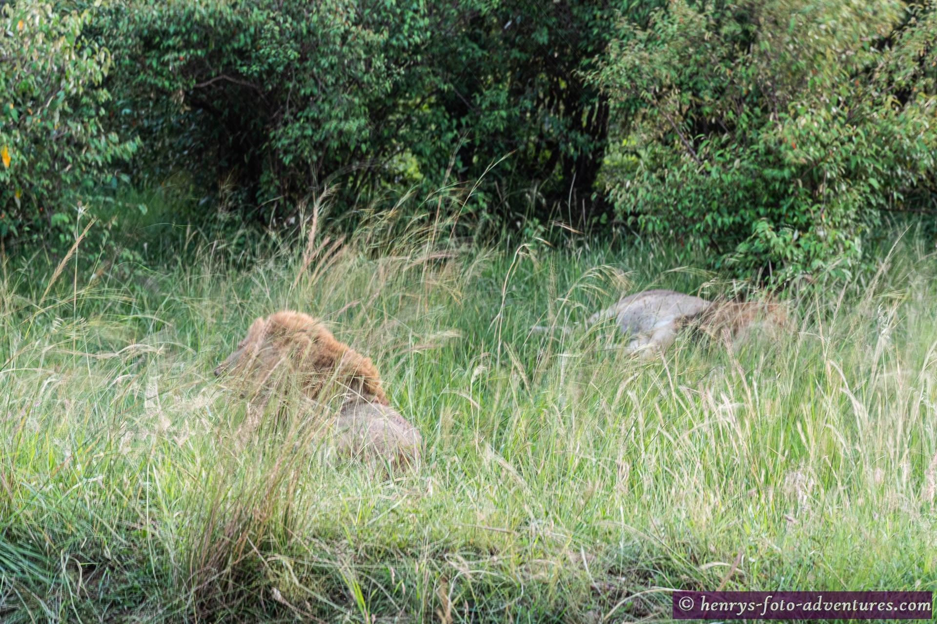 zwei schlafende Löwen-Mänchen