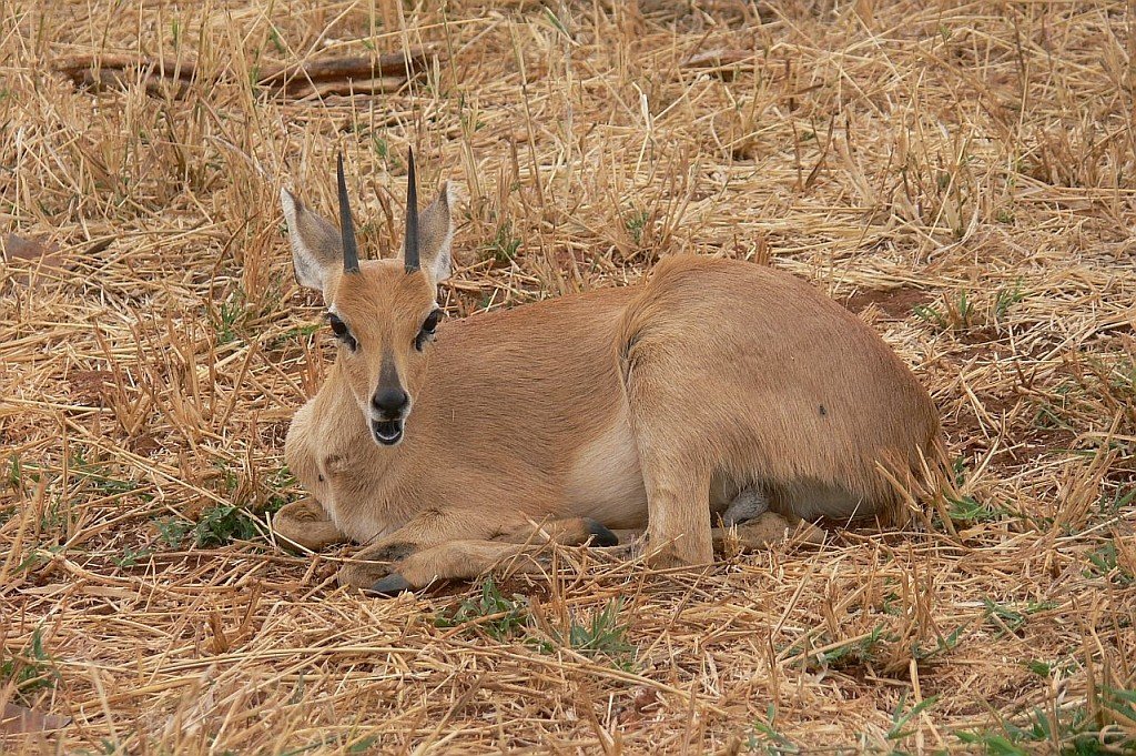 Impala-Junges