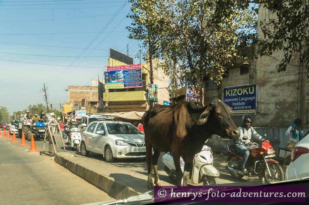 die heilige Kuh mitten im Verkehr