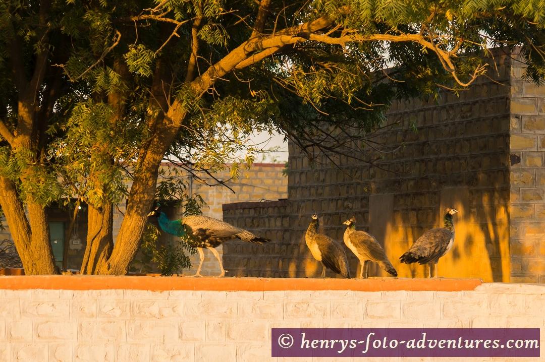 der Pfau, der Wappenvogel Indiens