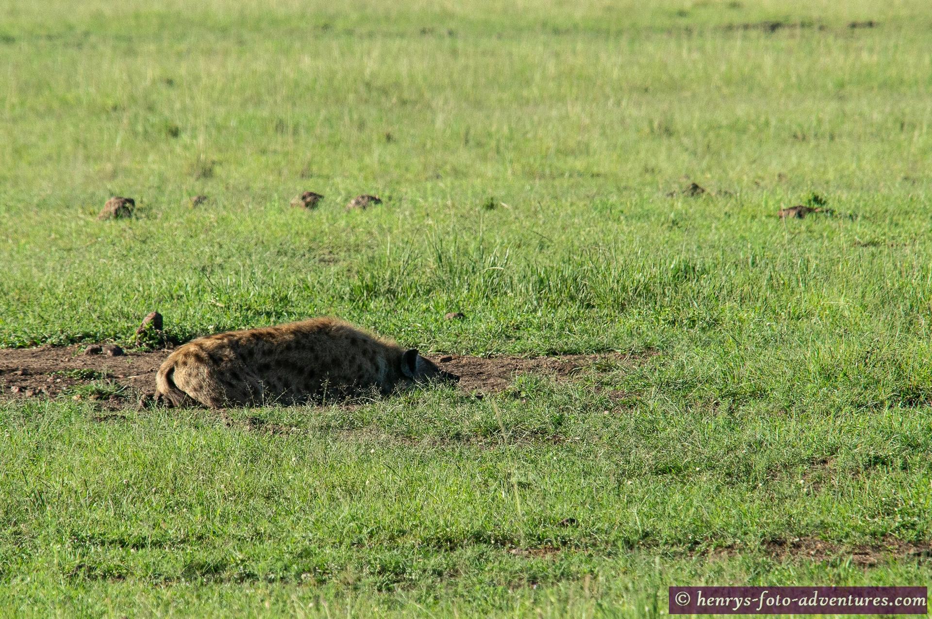 die Hyäne eher nicht