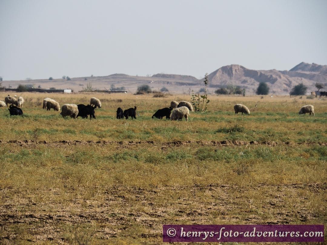 """wir treffen auf Kamele, Schafe und riesige Antilopen - """"Blue Bull"""","""