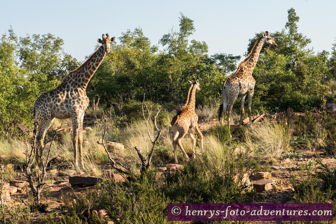 """unsere Giraffenfamilie sagt freundlich """"Guten Morgen"""""""