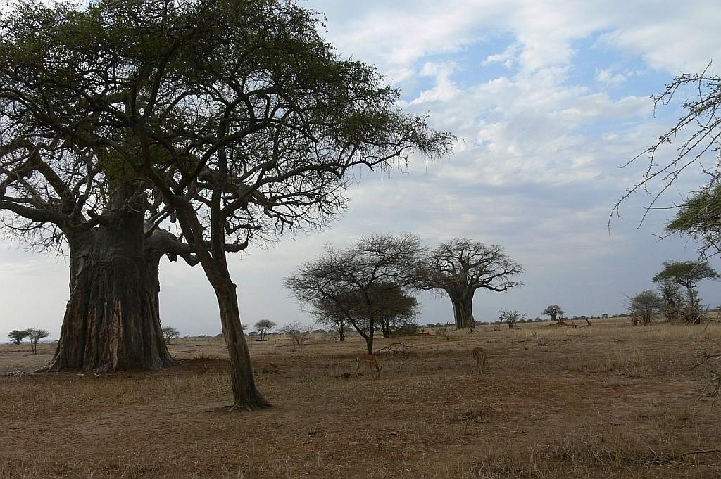 riesige Baobabs