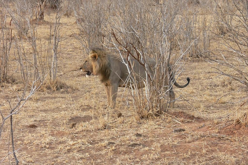unser erster Löwe