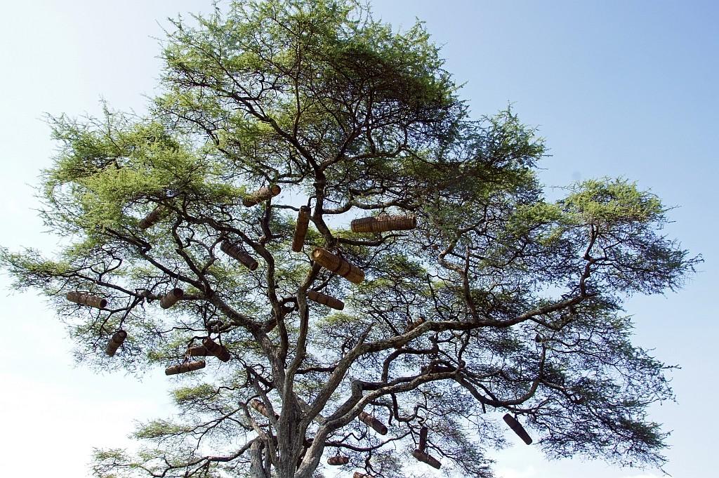 Baum mit Bienenstöcken