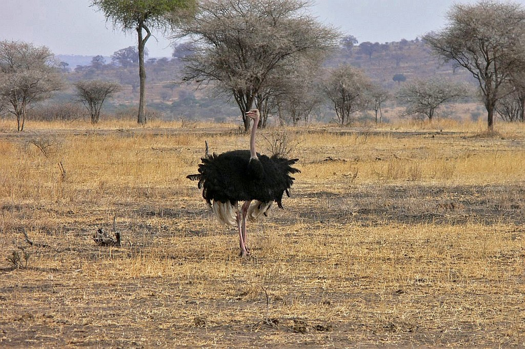 Vogel Straus