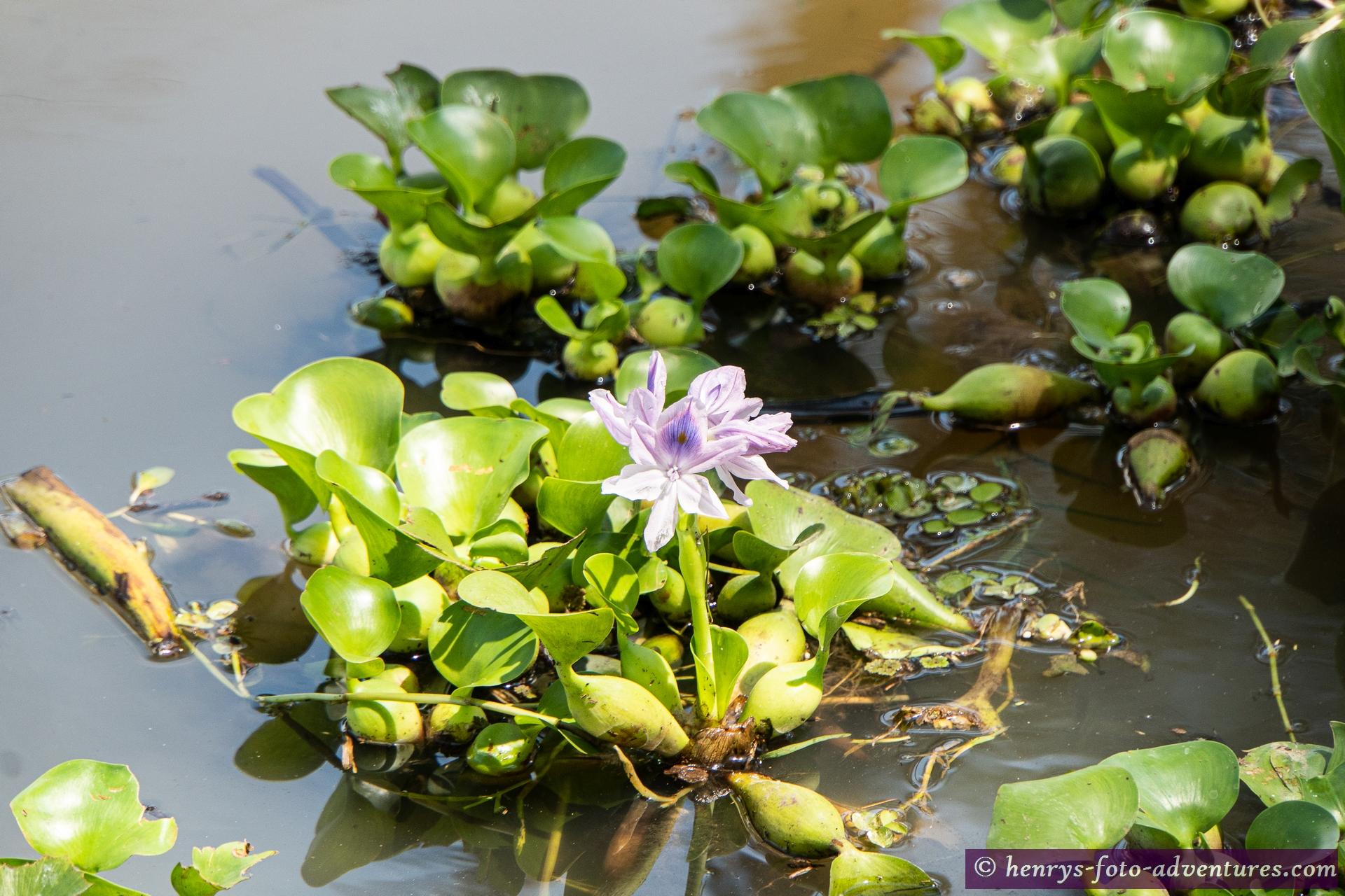 wunderschöne Hyazinthen