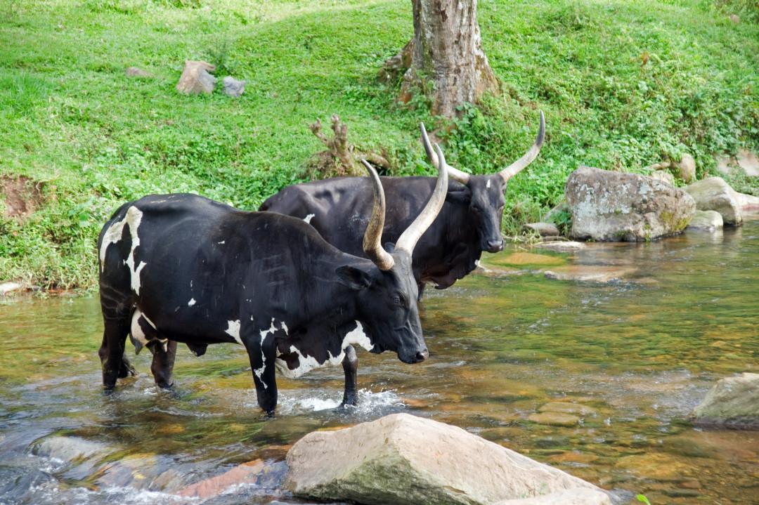Long Horn Rinder