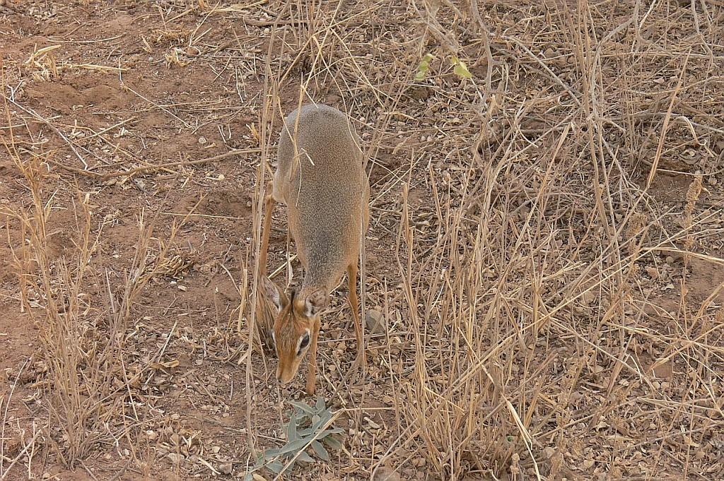 ein Dicdic, die kleinste Antilope