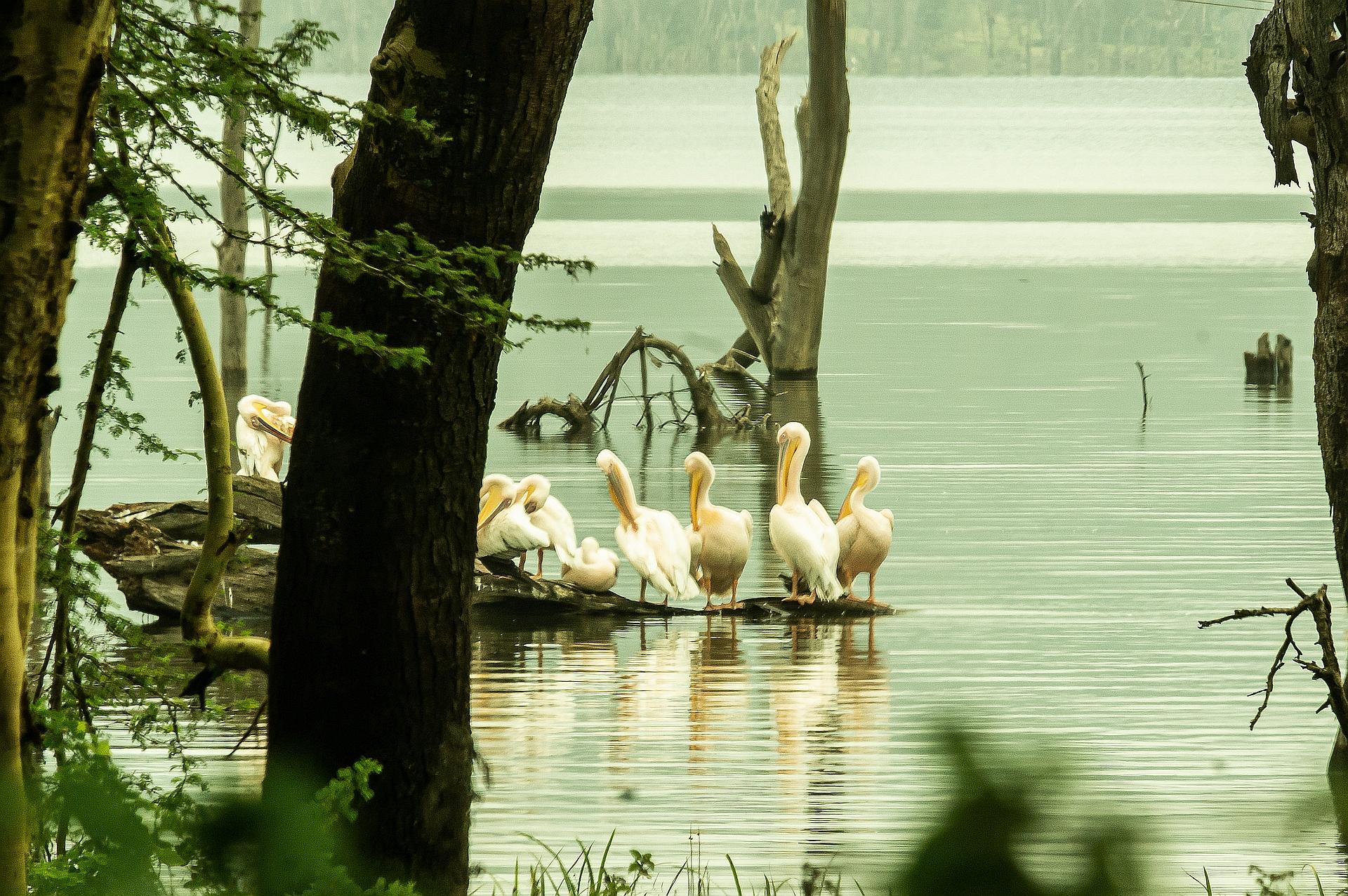 Pelikangruppe