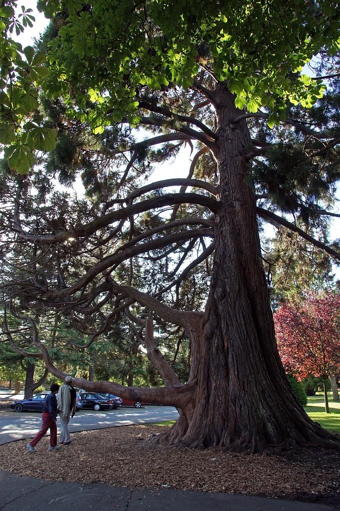 ein alter Red Canadian Cedar