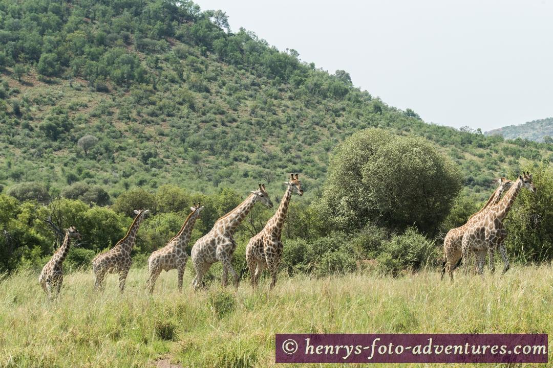 Girafffen