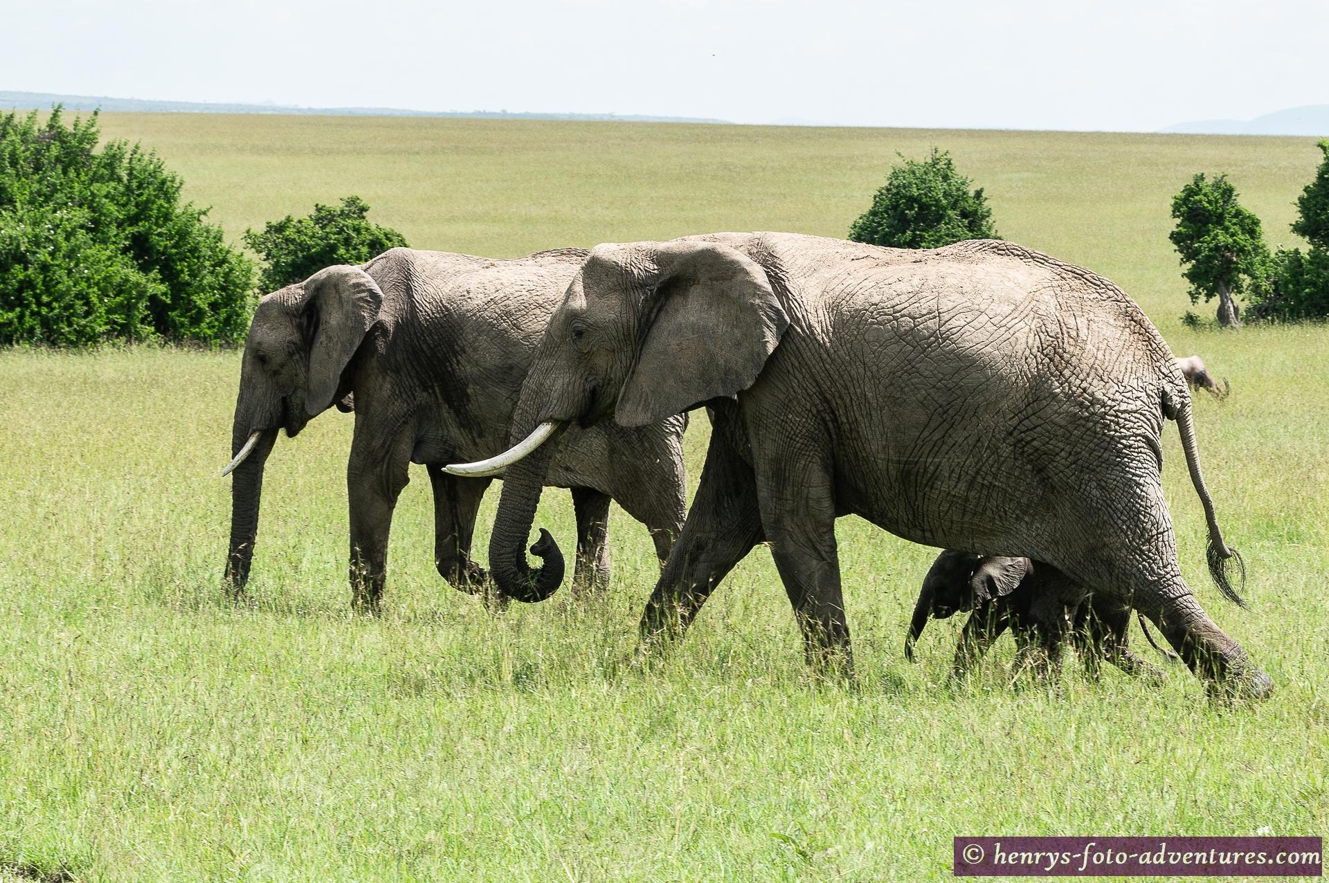 Elefantengruppe mit Babys