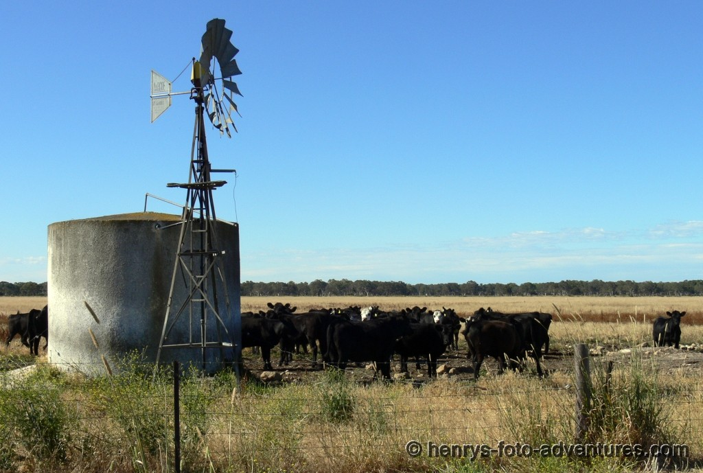 Rinderfarm mit Windradpumpe