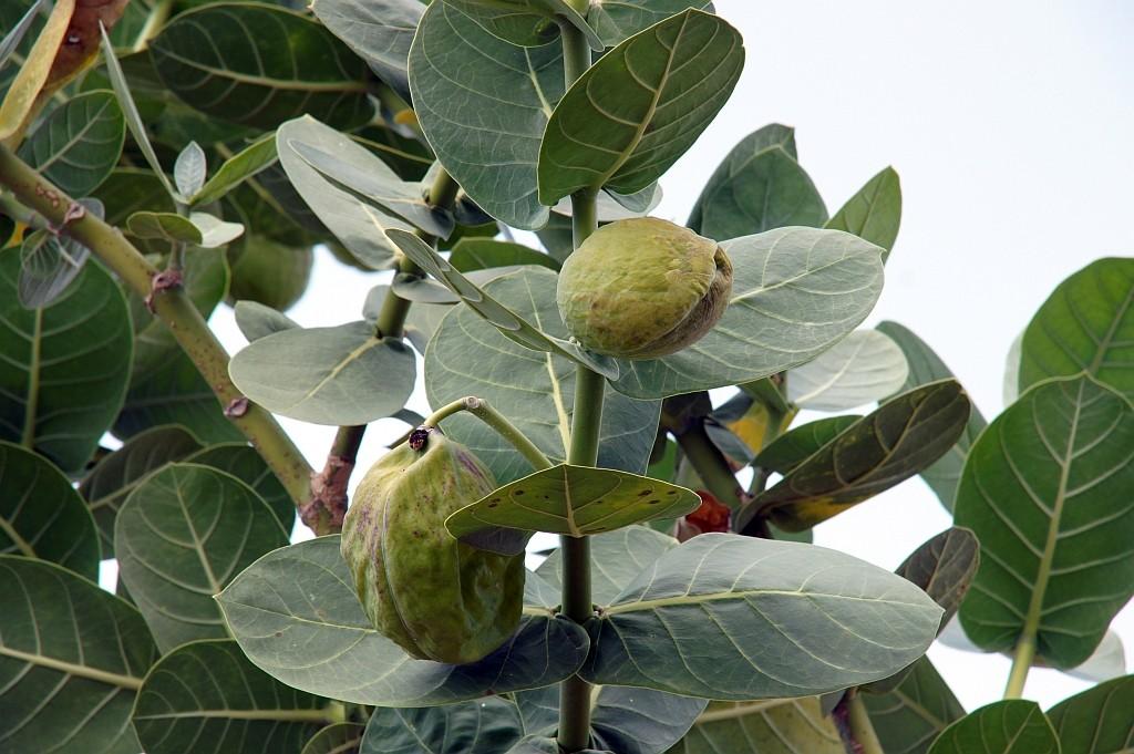giftige Früchte