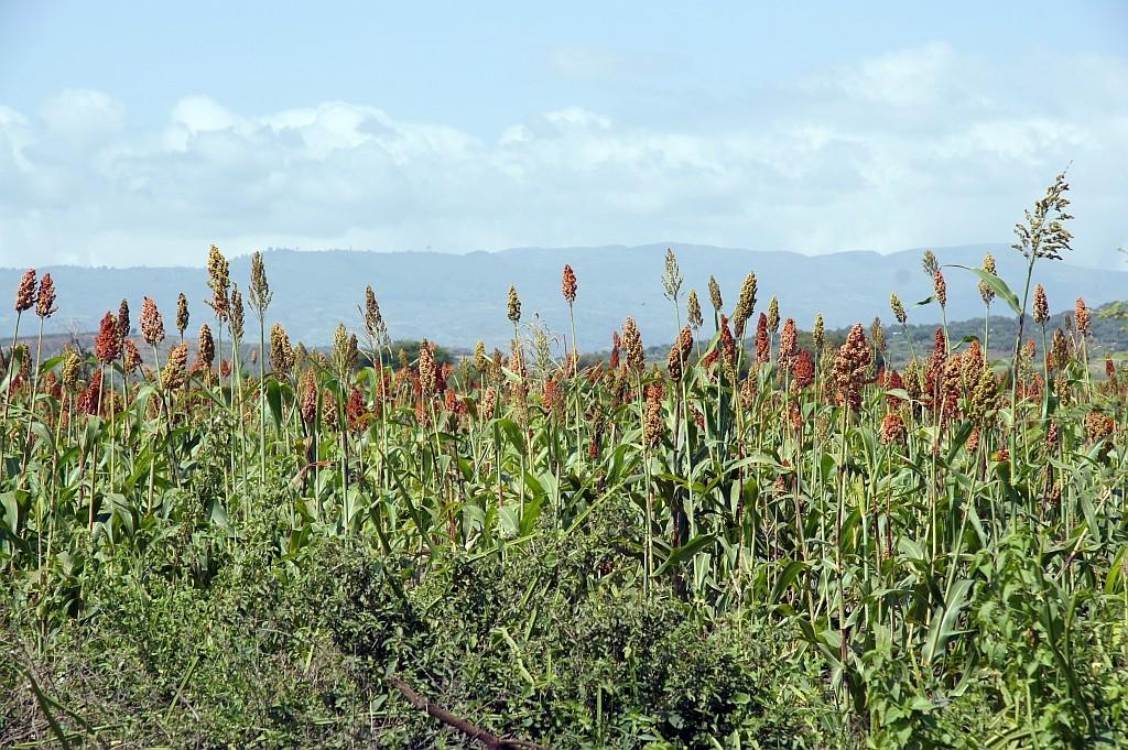 Hirse, das wichtigste Getreide