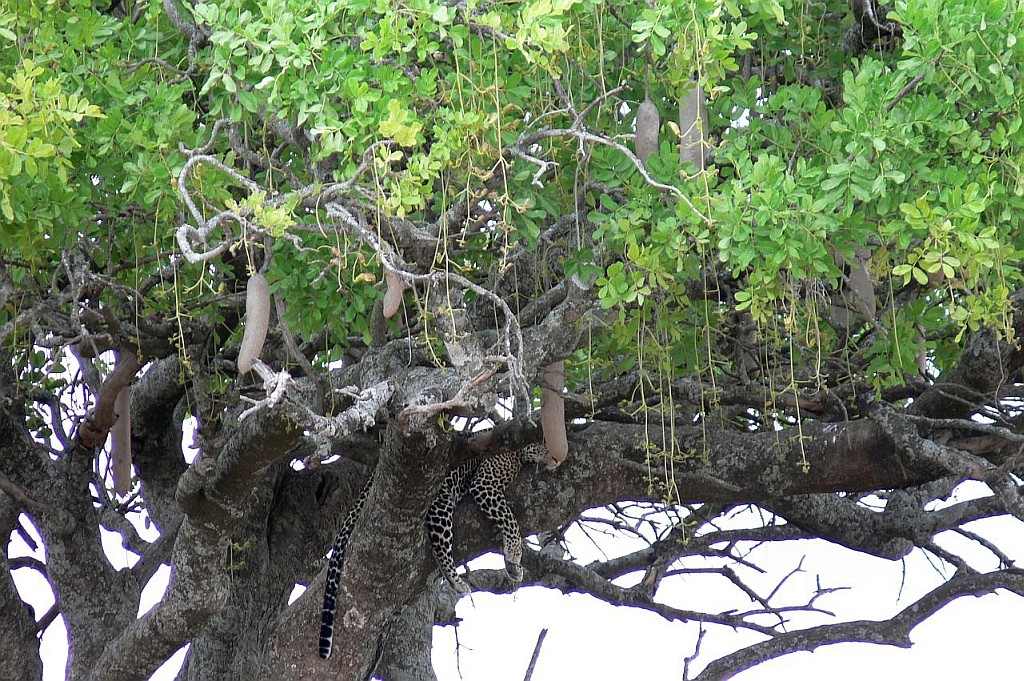 Suchbild - Leopard