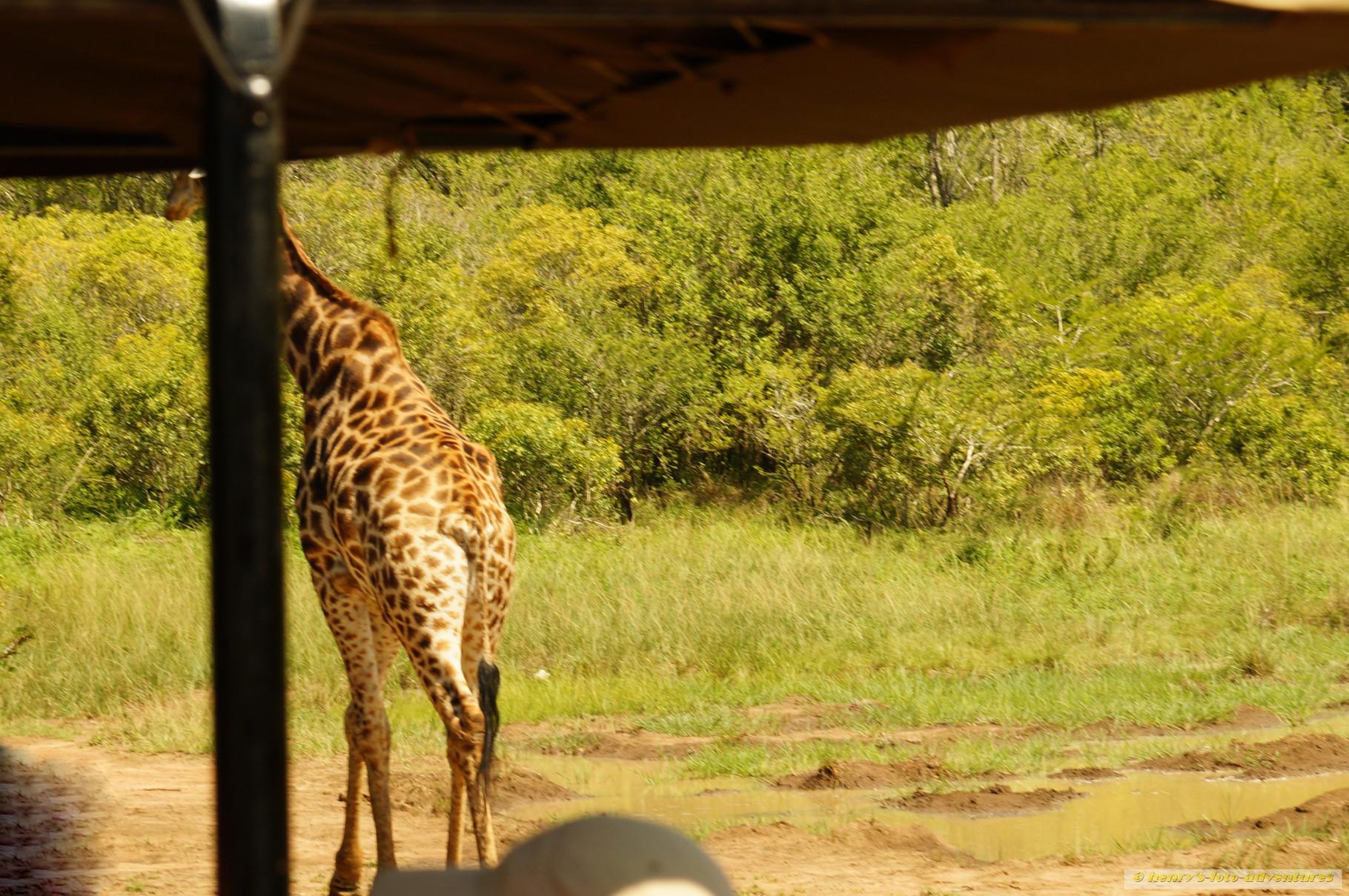 Hallo Giraffe, nicht davonlaufen!
