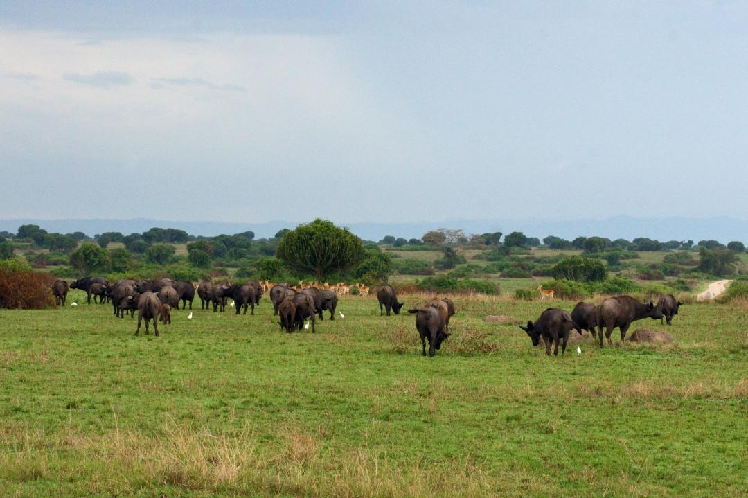 eine Büffel- und eine Kob Herde