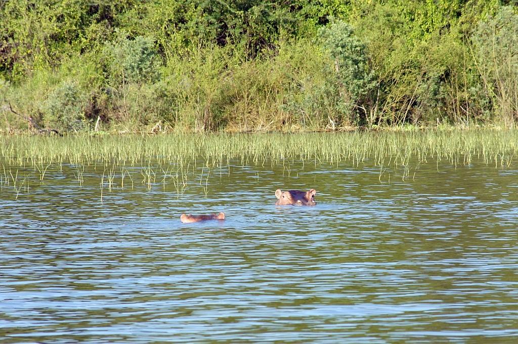 Hypos, angeblich viel gefährlicher als Krokodile