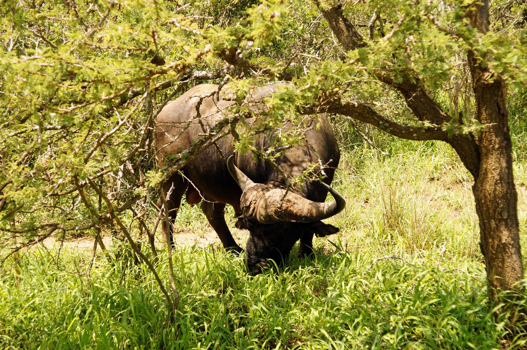 die Büffel lassen sich nicht stören