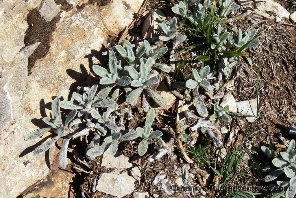 fast Hochalpine Flora