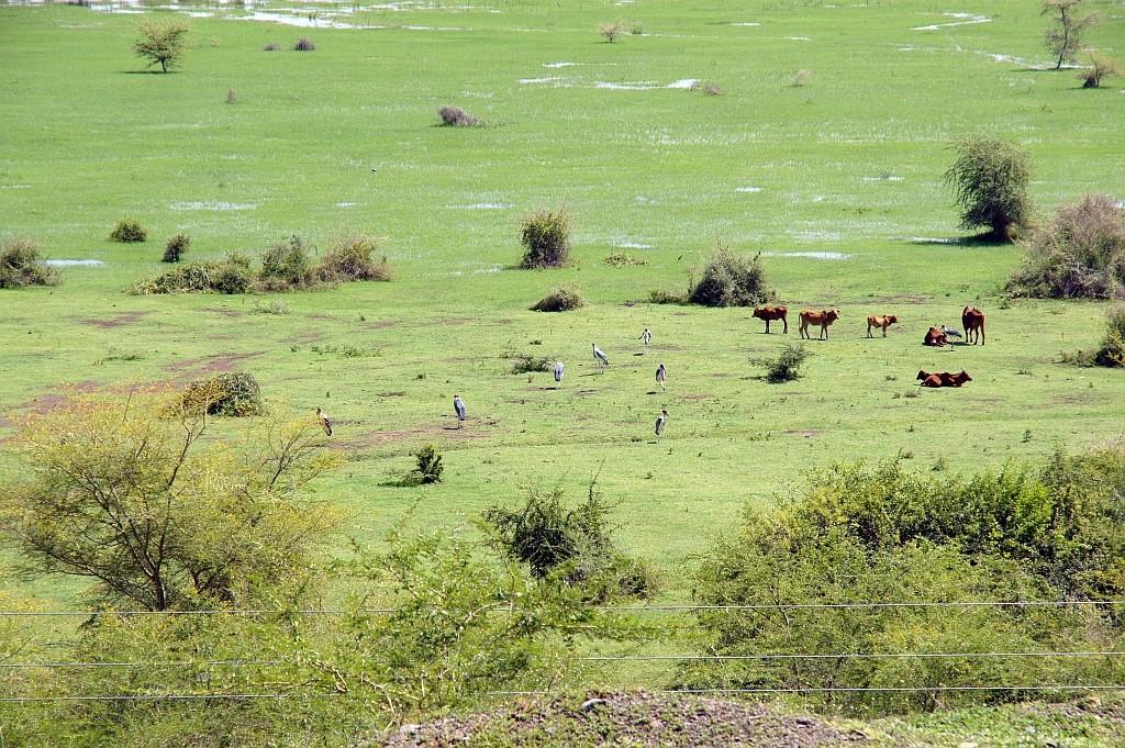 Kühe und Marabus im Sumpfland