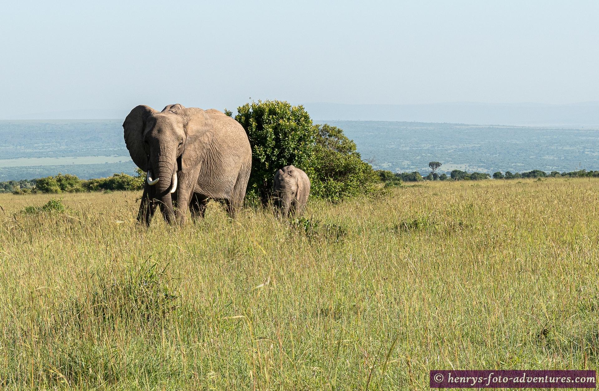 die Elefantengruppen sind hier sehr groß