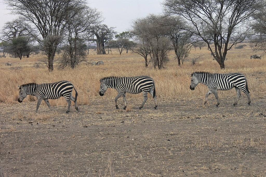 Zebras im Gänsemarsch