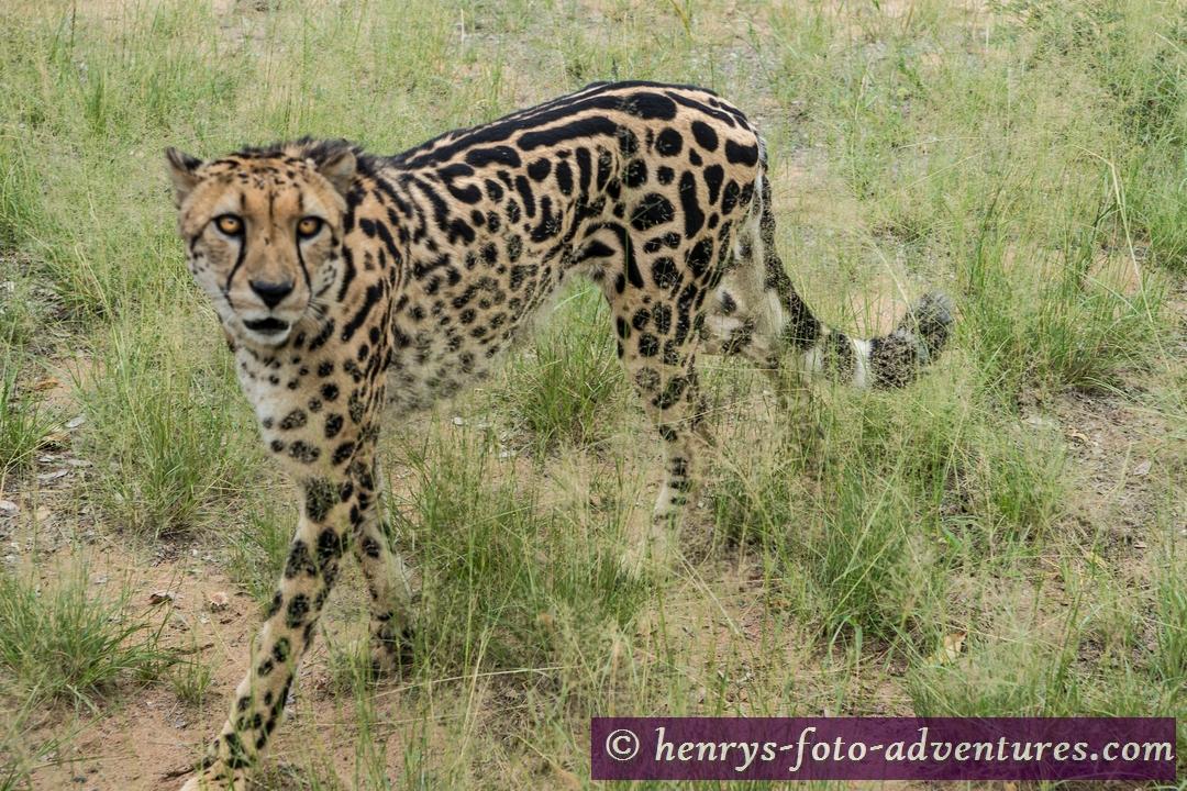 man bezeichnet ihn als einen Königsgepard,