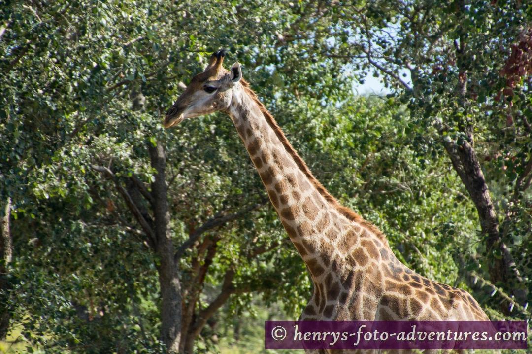 wir werdn von einer Familie Giraffen begrüßt